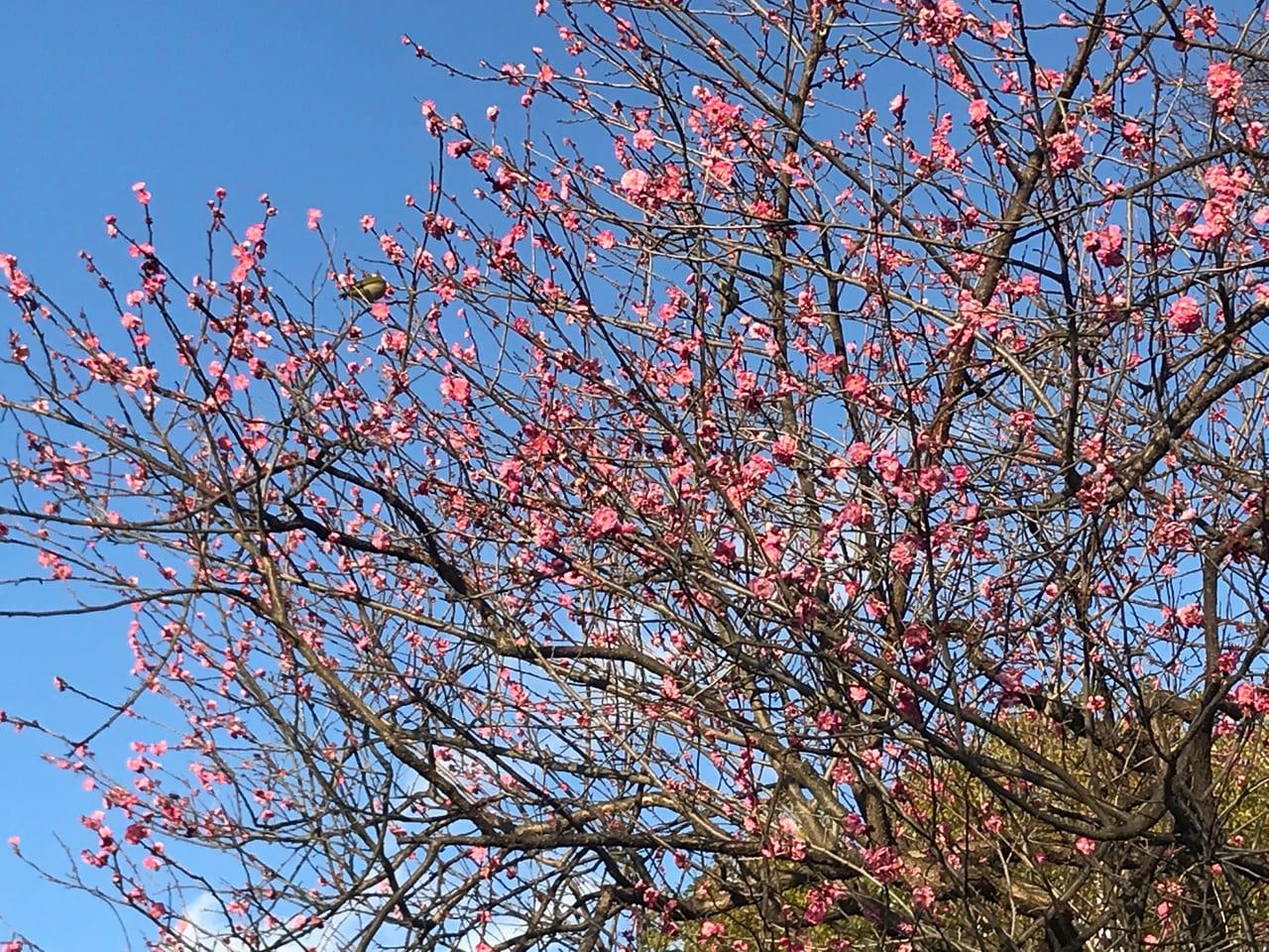 石手川沿いの2月上旬の梅の開花状況
